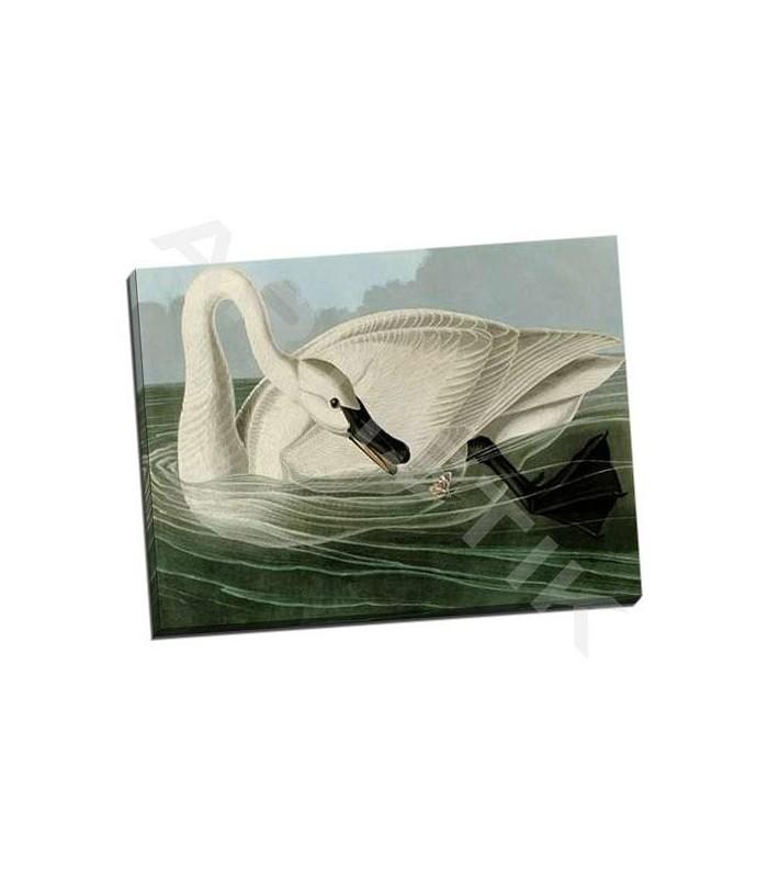 Trumpeter Swan - Audubon, John James