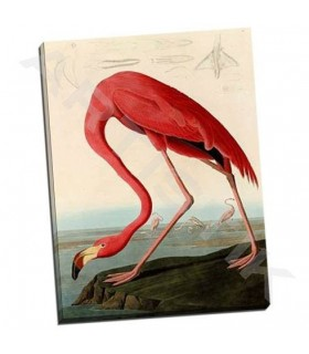 American Red Flamingo - Audubon, John James