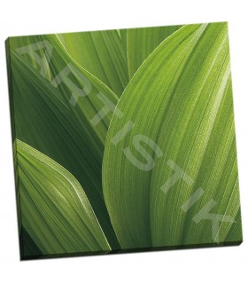 Corn Lily - Bell, Jan